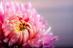 chrysanthemum-202483_640